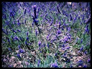 lavendermound